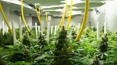 British Columbia facility Broken Coast Cannabis, where legal medical-grade marijuana is grown hydroponically.