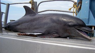 Bottlenose dolphins are being killed in the mesh of trawling nets.