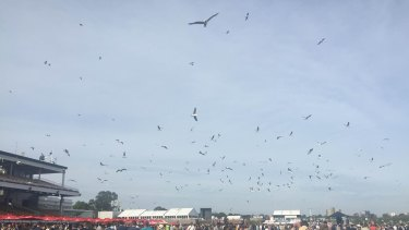 Seagulls at Flemington.