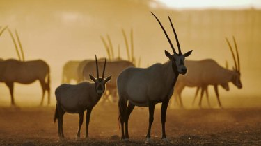Arabian oryx raised in captivity.