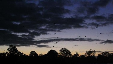 Bats take to the air over Brisbane.