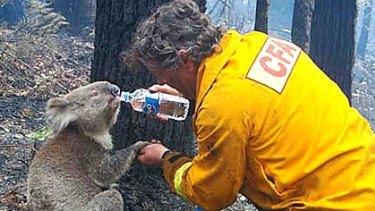 David Tree gives Sam the koala a drink during the bushfires.