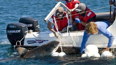 Great white shark tagging. <i>Photo: David Harasti</i>