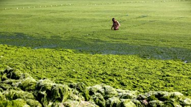 A man swims in seawater covered by a thick layer of green algae. More than 20,000 tonnes of the seaweed has been removed from Qingdao's beaches.