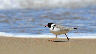 Victoria's vulnerable hooded plover represents a rare success story in a global report that paints a grim picture for many of the world's bird species.