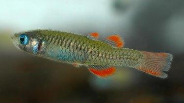 The endangered red-finned blue-eye