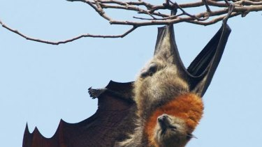A grey-headed flying fox bat stretches from its perch in  the Royal Botanic Gardens in Sydney.