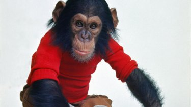 No more monkey business: After much soul searching, the researchers at the heart of the doco <i>Project Nim</i> are forced to admit that their pet chimp, Nim Chimpsky, is not a child.