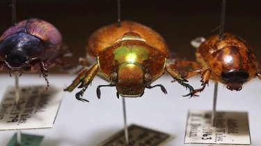 Summer hummers: the genuine Christmas beetle (centre), with the Argentine lawn beetle (right) and native chafer (left).