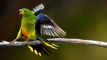 The orange-bellied parrot.