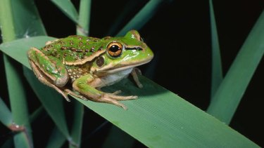 Endangered in NSW: The growling grass frog.