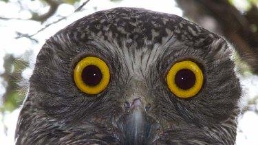 Ninox Strenua ... Sydney's powerful owl
