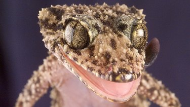 Geckos don't have eyelids, so they have to lick clean their eyes.