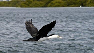Pied cormorant at Botany Bay.