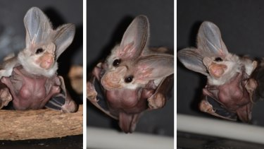 Three views of the ghost bat pup, born at Taronga Zoo.