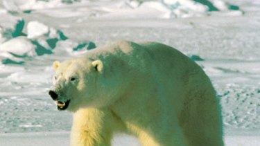 Harsh climate ... a polar bear on an ice floe in Alaska.