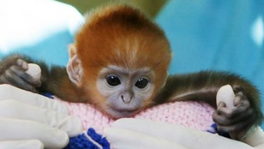 Elke, a five-day-old Francois Langur, makes her media debut at Taronga Zoo's Wildlife Hospital in Sydney.