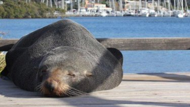 The Bayview seal enjoying the sun.