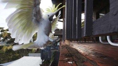 Cocky behaviour ...  a cockatoo prepares to feast on Peter Cross's verandah in Woronora.