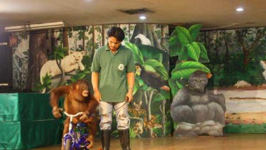 The only exercise this young orang-utan gets is performing for people. <i>Picture: Ben Doherty</i>