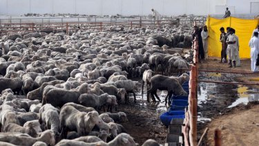 Pakistani labourers take care of Australian sheep at a farm in Bin Qaisim town, some 50 kilometres southwest of Karachi