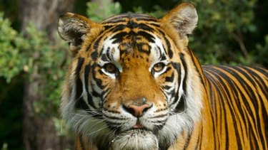 Kato the bengal tiger which has now been responsible for two attacks on handlers at Dreamworld.