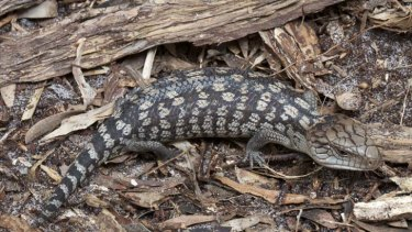 Smart reptiles ... when incubated at warmer temperatures, smarter lizards are hatched.