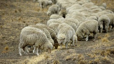 Sheep eat feed given to them so they survive the drought affecting NSW.