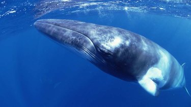 A whale of a problem: If ship noises become considerably louder, they could disrupt the whales' ability to communicate over long distances.