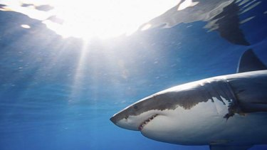 The world of great white sharks has long been a murky one, but satellites and acoustic tags, such as those implanted by CSIRO researchers, are shedding light on their secrets.