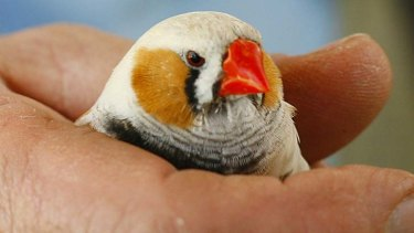 Smart student: zebra finches are sensitive to variations in human speech, such as changes in the pitch, volume and duration of spoken syllables,.