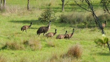 """""""There are 27 emus and several hundred kangaroos living on the site""""."""