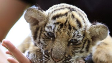 The rescued tiger cub.
