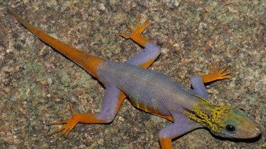 A walking colour chart ... a psychedelic gecko, one of the many new species found in the Greater Mekong region that WWF says needs to be protected.