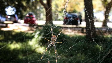 SMH News story by Peter Hannan. Sydneys spiders more active durring the current hot weather. Photo: Peter Rae Monday 7 March 2016. a