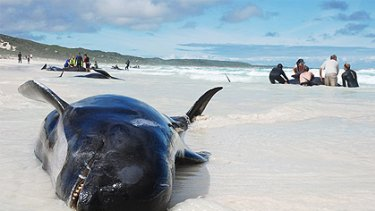 Volunteers have scrambled to rescue a pod of whales and dolphins at Hamelin Bay, 10km north of Augusta.