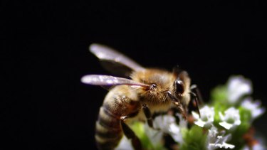 Crops such as almonds, apples, cucumbers, and of course, honey could be wiped out by the Asian honey bee.