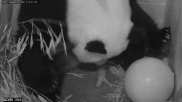 Mei Xiang gives birth to a cub on Friday night at the National Zoo in Washington. The next night she delivered its stillborn twin.