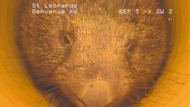 Furry critter ... the wombat will be respectfully nudged on to a new burrow.
