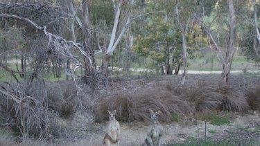 Kangaroos on farmland at Barkers Creek.