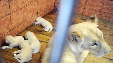Four-day-old white lion cubs asleep at the Belgrade Zoo.