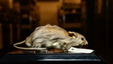 """A specimen of <i>Leporillus apicalis</i>, the critically endangered lesser stick-nest rat, in the Melbourne Museum's collection of """"whole body"""" specimens."""