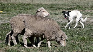 Paul O'Kane's dog Andrew Symonds moves around the sheep during the National Sheep Dog Trials.