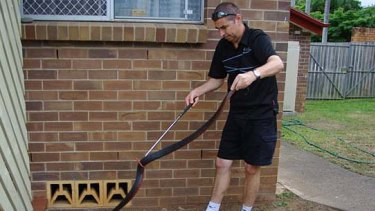Snake catcher Simon Grainger removes a deadly red-belly black snake from a suburban property.