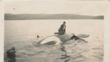 George Davidson on Old Tom's body in Twofold Bay on  September 17, 1930.