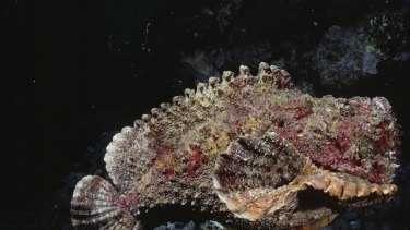 AT SEA - JANUARY 01:  Stonefish are equiped with venomous spines and toxin-secreting skin. Gulf Of Aqaba, Red Sea  (Photo by David Doubilet/National Geographic/Getty Images)