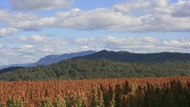 Quinoa crop at Kindred Organics.