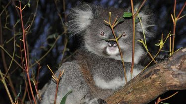 A koala recovering after being seized during an inspection of a rogue wildlife shelter in western Victoria.