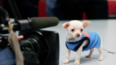 Diego the Chihuahua in the media spotlight after an alleged attempted robbery.