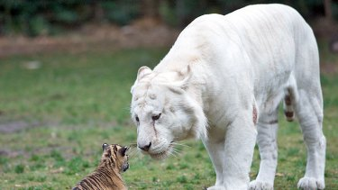 Mohan with tiger cub Sali at Dreamworld.